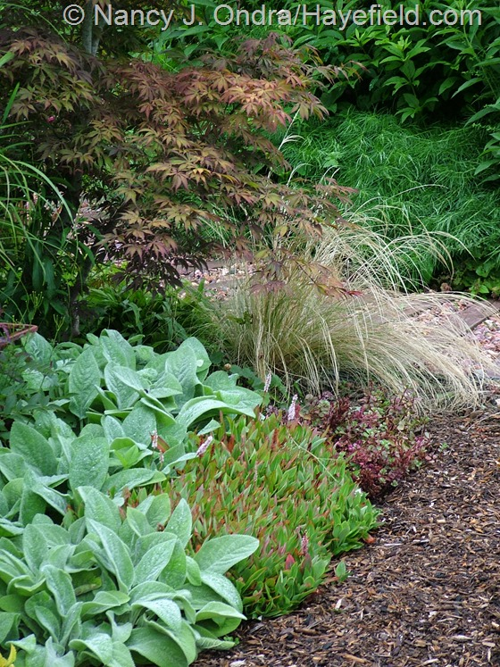 Stachys byzantina 'Big Ears', Persicaria affine, Stipa tenuissima, and Acer palmatum at Hayefield.com