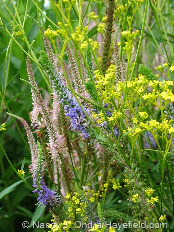 Veronica grandis, Veronicastrum virginicum 'Erica', and Patrinia scabiosifolia at Hayefield.com