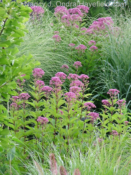 Eutrochium dubium 'Little Joe' and E. purpureum with Miscanthus 'Morning Light', Panicum virgatum, and Pennisetum alopecuroides 'Cassian' at Hayefield.com