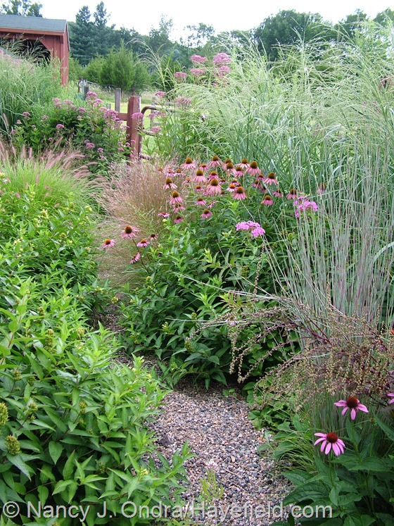 Echinacea purpurea, Pennisetum alopecuroides 'Cassian', Schizachyrium scoparium 'The Blues', Panicum amarum 'Dewey Blue', Eutrochium purpureum, and E. dubium 'Little Joe' at Hayefield.com