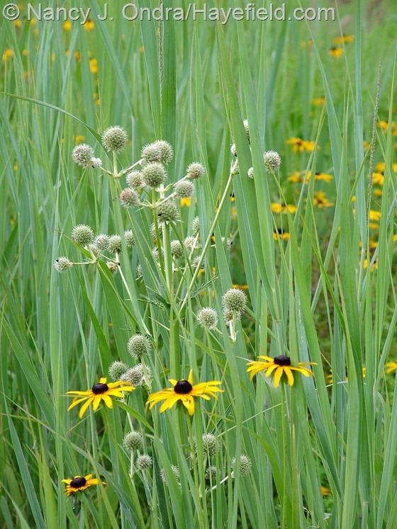 Panicum virgatum 'Dallas Blues', Eryngium yuccifolium, and Rudbeckia fulgida var. fulgida at Hayefield.com