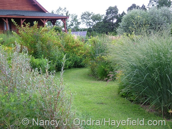 Salix alba 'Chermesina', Panicum amarum 'Dewey Blue', Physocarpus opulifolius 'Dart's Golden', and Salix alba var. sericea at Hayefield.com
