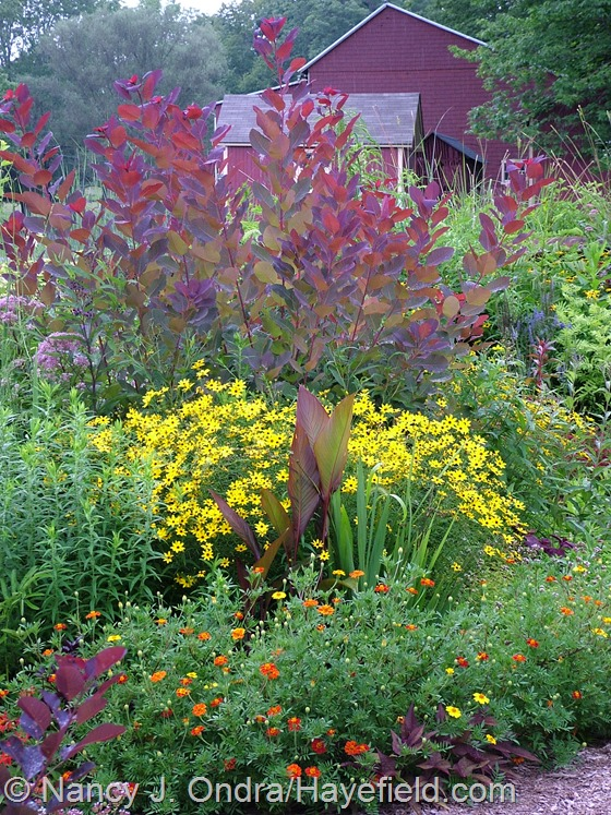 Cotinus 'Grace' with Coreopsis tripteris, Canna indica 'Purpurea', Crocosmia 'Lucifer', and Tagetes at Hayefield.com