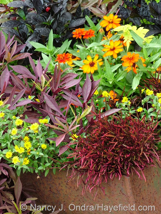 Alternanthera 'Red Threads', Sanvitalia 'Million Suns', Ipomoea batatas 'Illusion Garnet Lace', Capsicum annuum 'Black Pearl', Zinnia 'Profusion Orange', and Jasminum officinale 'Fiona Sunrise' at Hayefield.com