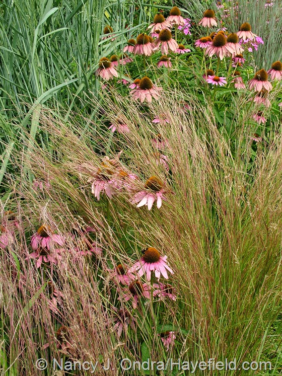Echinacea purpureum with Schizachyrium scoparium at Hayefield.com