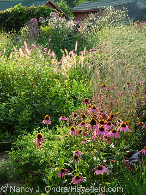 Echinacea purpurea, Pennisetum alopecuroides 'Cassian', Schizachyrium scoparium 'The Blues', Panicum amarum 'Dewey Blue', Sanguisorba tenuifolia 'Alba', and Eutrochium purpureum at Hayefield.com