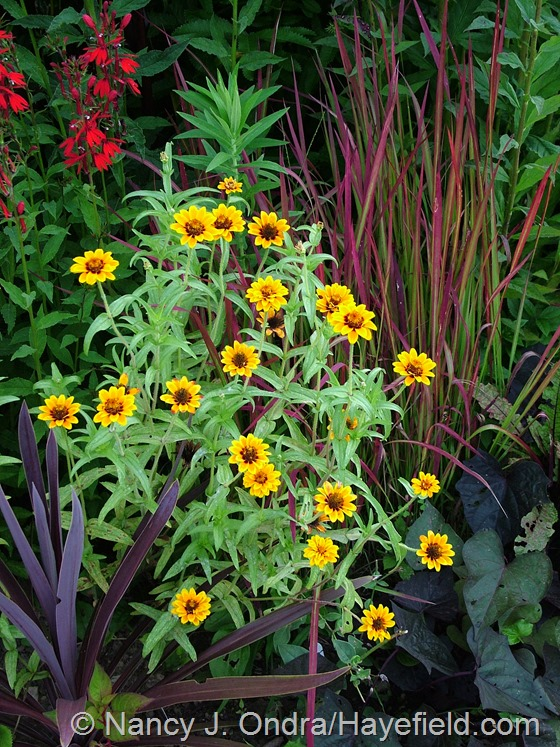 Zinnia 'Soleado' with Cordyline australis 'Red Star' and Imperata cylindrica 'Rubra' at Hayefield.com