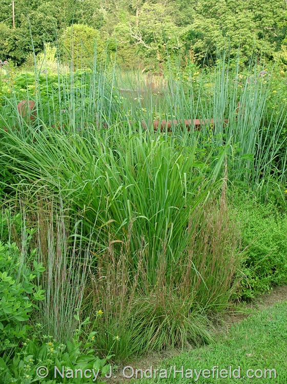 Schizachyrium scoparium, S. scoparium 'The Blues', Tripsacum dactyloides, and Sorghastrum nutans 'Indian Steel' in TDF Border at Hayefield.com