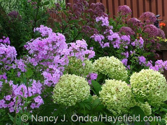 Hydrangea arborescens, Phlox paniculata, and Eutrochium purpureum at Hayefield.com