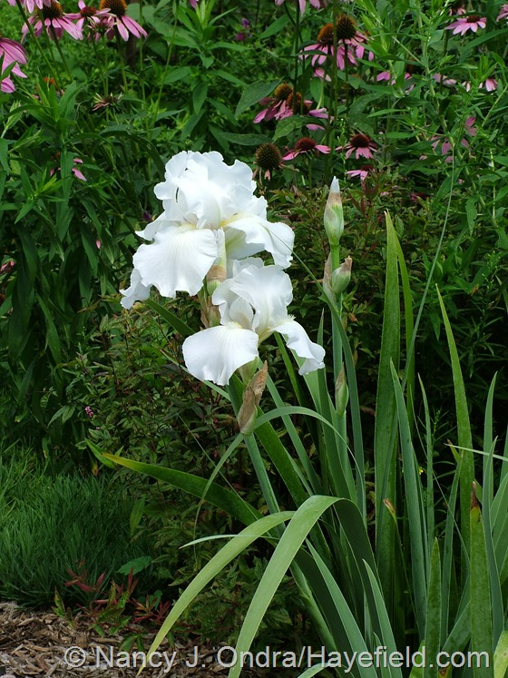 Iris 'Immortality' at Hayefield.com