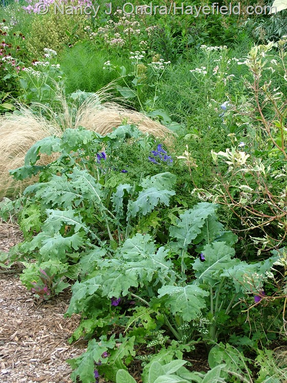 Kale 'White Russian' with Stipa tenuissima and Parthenium integrifolium at Hayefield.com