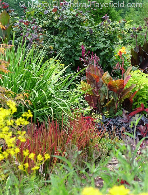 Imperata cylindrica 'Rubra' with Iris 'Gerald Darby', Canna 'Phaison' [Tropicanna], and Corylus avellana 'Red Majestic' at Hayefield.com