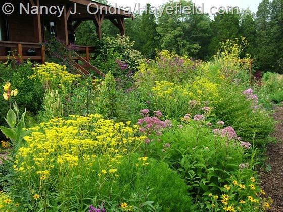 Patrinia scabiosifolia variation at Hayefield.com