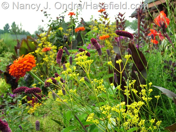Patrinia scabiosifolia with Sanguisorba tenuifolia and Zinnia 'Orange King' at Hayefield.com