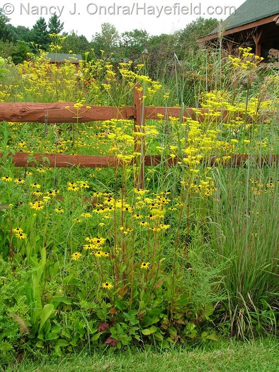 Patrinia scabiosifolia with Rudbeckia fulgida var. fulgida at Hayefield.com