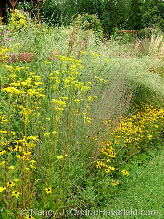 Patrinia scabiosifolia with Schizachyrium scoparium 'The Blues' and Rudbeckia fulgida var. fulgida at Hayefield.com