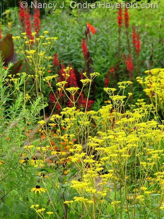 Patrinia scabiosifolia against Lobelia cardinalis at Hayefield.com
