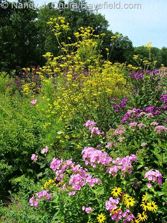 Patrinia scabiosifolia with Vernonia noveboracensis, Phlox paniculata, and Rudbeckia fulgida var. fulgida at Hayefield.com