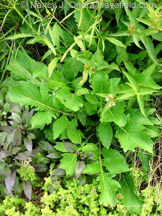 Patrinia scabiosifolia foliage at Hayefield.com