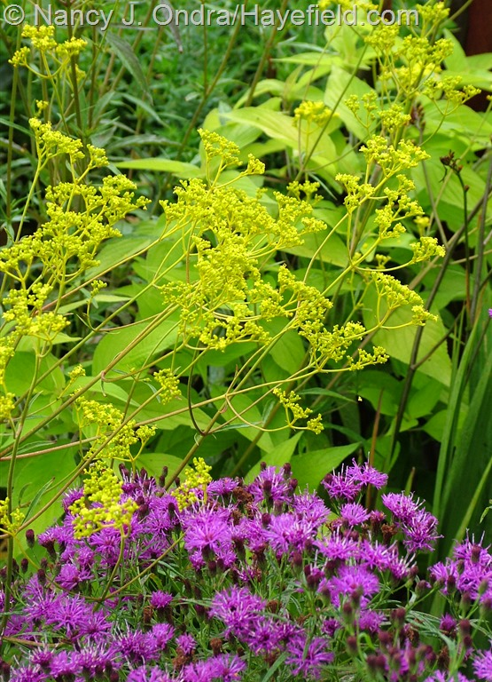 Patrinia scabiosifolia with Vernonia lettermannii at Hayefield.com