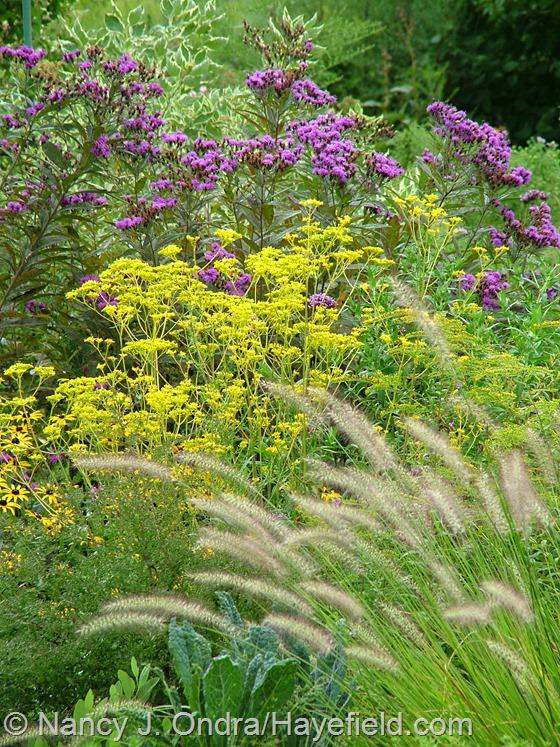 Patrinia scabiosifolia with Vernonia noveboracensis and Pennisetum alopecuroides at Hayefield.com