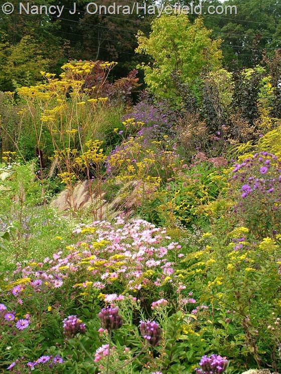 Patrinia scabiosifolia with Solidago and Symphyotrichum novae-angliae at Hayefield.com