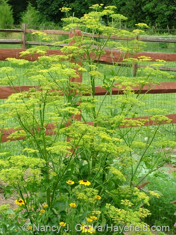 Pastinaca sativa (parsnip) at Hayefield.com