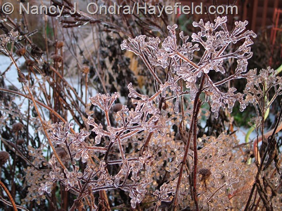 Patrinia scabiosifolia winter seedheads at Hayefield.com