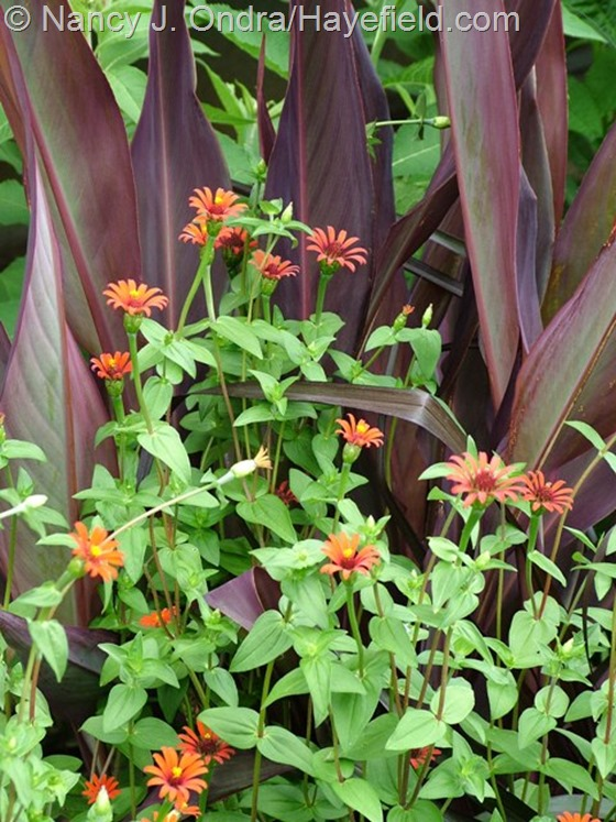 Zinnia tenuifolia 'Red Spider' with Canna 'Intrigue' at Hayefield.com