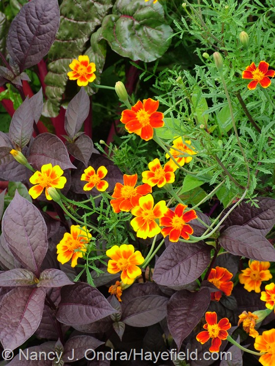 Tagetes patula 'Hayefield Strain' and Alternanthera dentata 'Purple Knight' at Hayefield.com