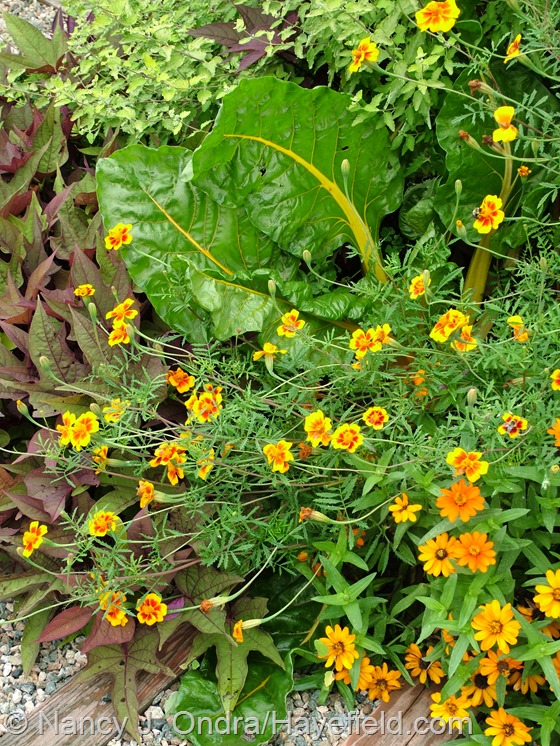 Tagetes patula 'Hayefield Strain' with 'Bright Lights' Swiss chard and Zinnia 'Profusion Orange' at Hayefield.com