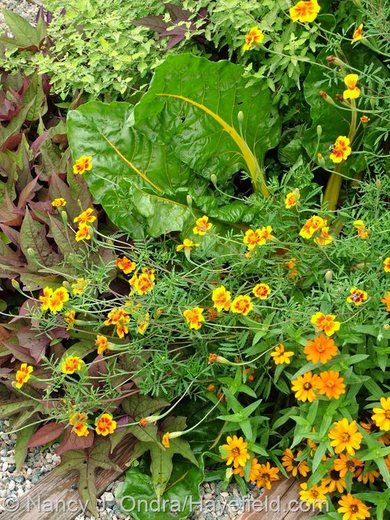 Tagetes patula 'Hayefield Strain' with 'Bright Lights' Swiss chard and Zinnia 'Profusion Orange' at Hayefield.com