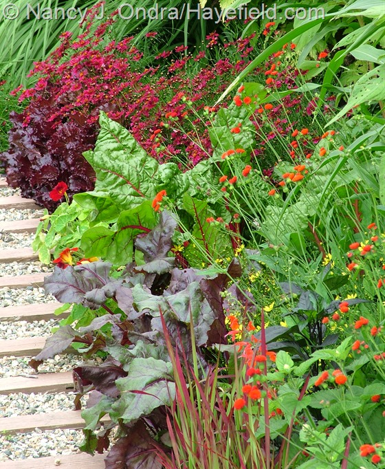 Emilia javanica with 'Bull's Blood' beets, 'Bright Lights' Swiss chard, and 'Limerock Ruby' coreopsis at Hayefield.com