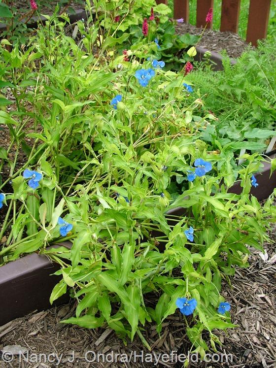 Commelina tuberosa (Coelestis Group) 'Hopleys Variegated' at Hayefield.com