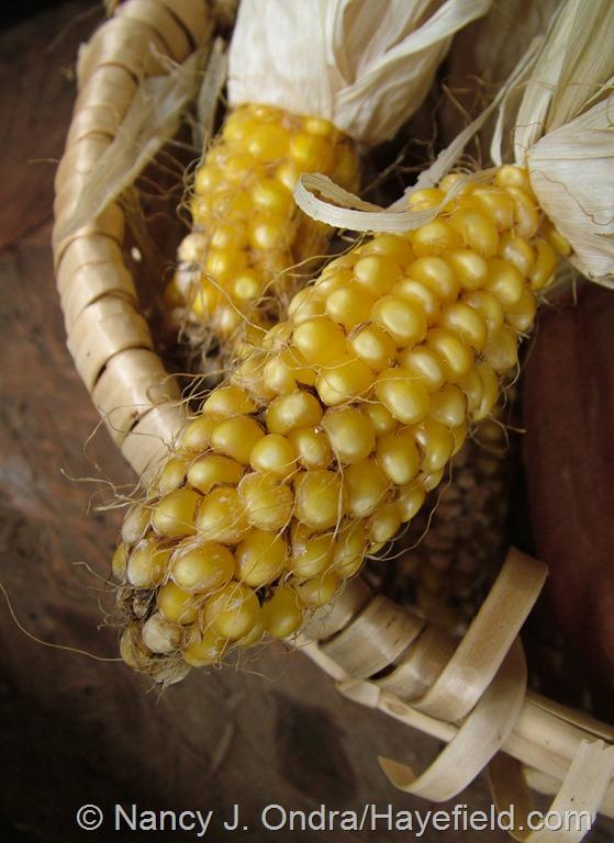 Corn 'Tiger Cub' at Hayefield.com