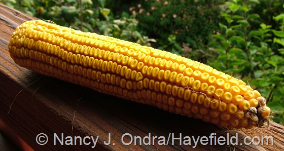Corn (Zea mays) 'Old Gold' at Hayefield.com