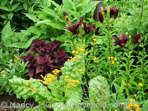 Emilia javanica 'Irish Poet' with 'Marooned' coleus and 'Landini' Asiatic lily at Hayefield.com