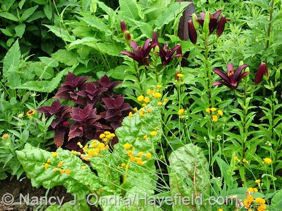 Emilia javanica 'Irish Poet' with 'Marooned' coleus and 'Landini' Asiatic lily at Hayefield.com