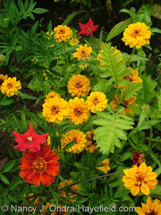 Zinnia 'Soleado' with Petunia exserta, Tanacetum vulgare 'Isla Gold', and Tagetes patula 'Moldova' at Hayefield.com