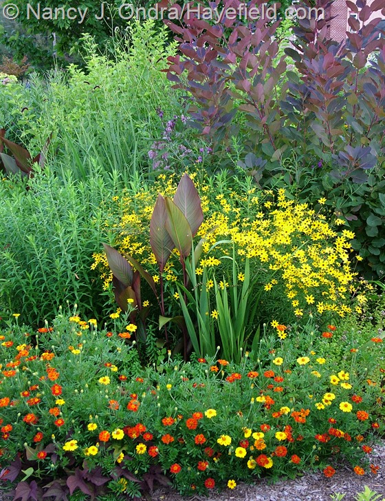 Tagetes patula 'Moldova' with Canna indica 'Purpurea', Crocosmia, Coreopsis tripteris, and Cotinus 'Grace' at Hayefield.com