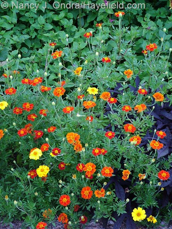 Tagetes patula 'Moldova' at Hayefield.com