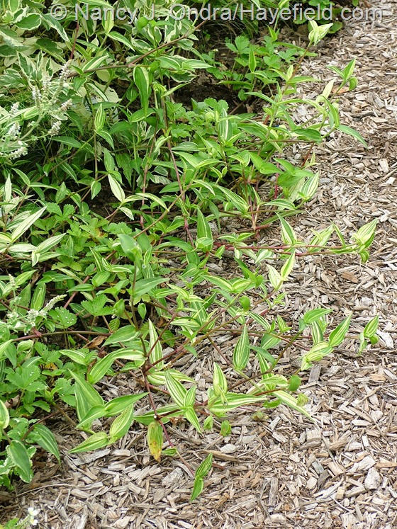 Commelina communis f. aureostriata (variegated commelina) at Hayefield.com