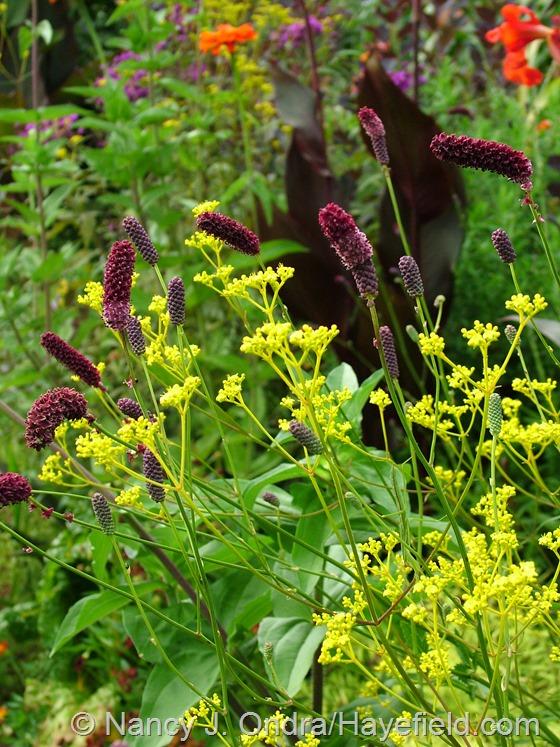 Sanguisorba tenuifolia with Patrinia scabiosifolia at Hayefield.com