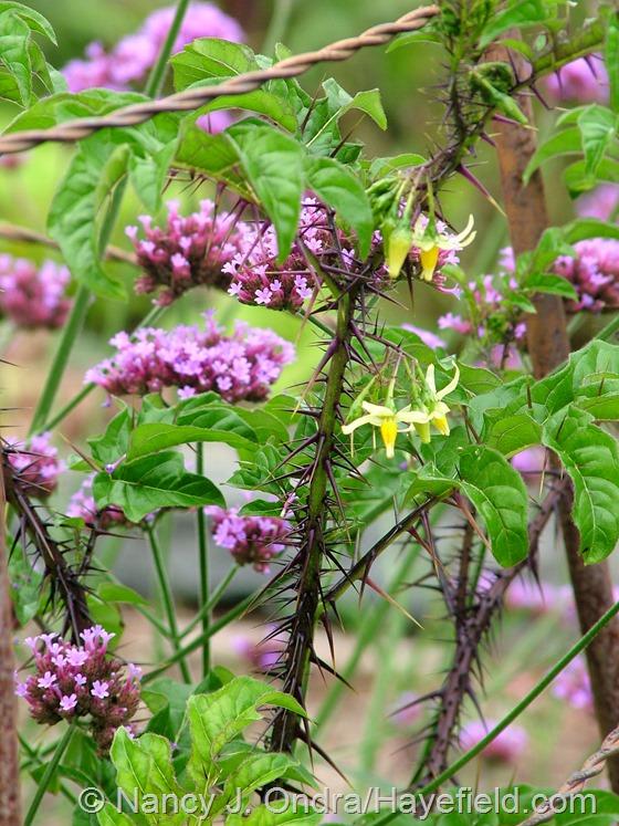 Solanum atropurpureum with Verbena bonariensis at Hayefield.com