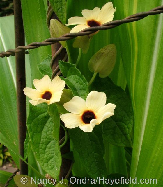 Thunbergia alata 'Blushing Susie' at Hayefield.com