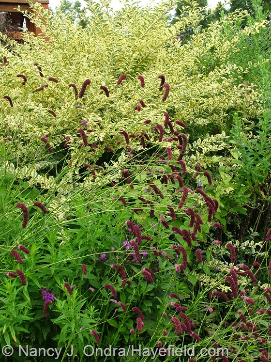 Sanguisorba tenuifolia against Ligustrum sinense 'Swift Creek' at Hayefield.com