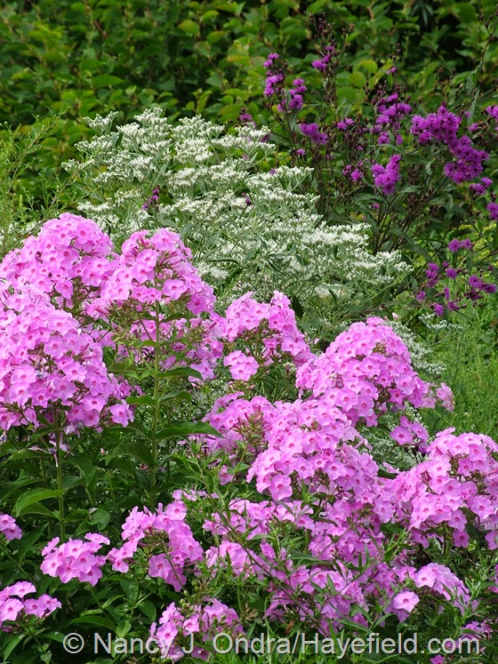 Phlox paniculata with Ageratina aromatica 'Jocius' Variegate' and Vernonia noveboracensis at Hayefield.com