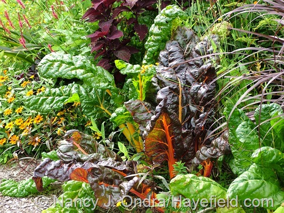 Swiss chard 'Bright Lights' at Hayefield.com