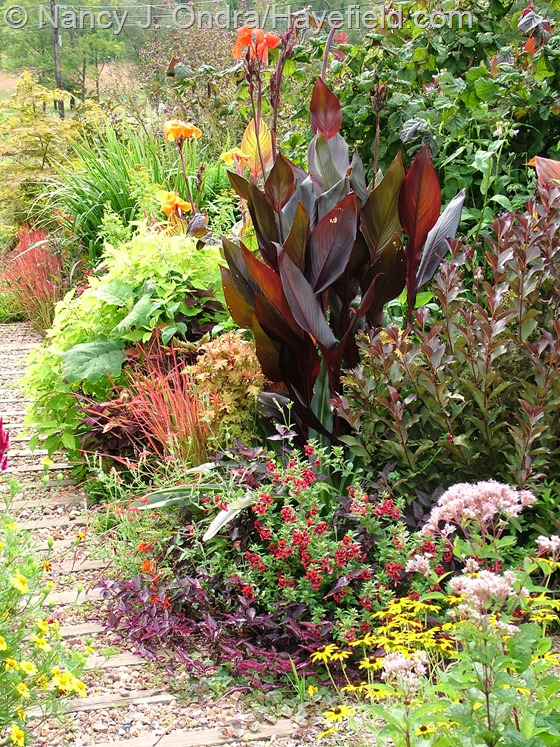 Front path with Canna 'Australia', Weigela 'Bramwell' [Fine Wine], and Cuphea 'Flamenco Samba' at Hayefield.com