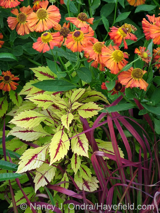 Imperata cylindrica 'Rubra' with Solenostemon [Coleus] 'Pineapple Splash' and Helenium 'Coppelia' at Hayefield.com